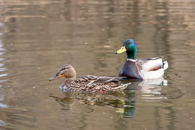 Ein paar schöne attraktive enten schwimmt im wasser, nahaufnahme.