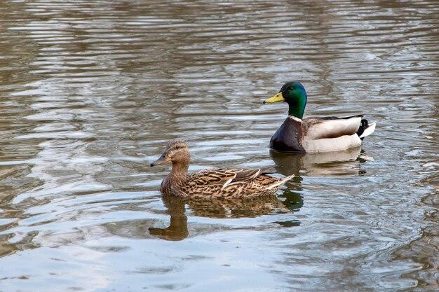 Ein paar sehr schöner enten schwimmt im wasser, badet morgens. weiches licht, nahaufnahme.