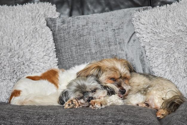 Ein paar shih-tzu hunde, die zusammen auf einer couch schlafen.