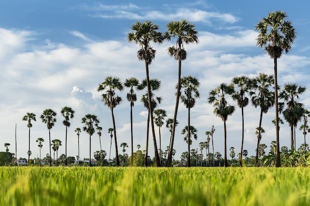 Ein palmengarten mit einem reisfeld im vordergrund und einer himmelskulisse