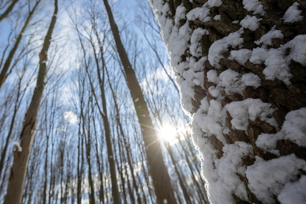 Ein panorama-winterwald mit schnee und sonne