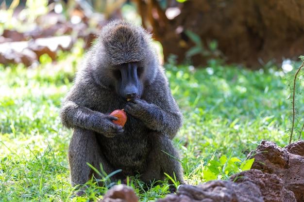 Ein pavian hat eine frucht gefunden und knabbert daran