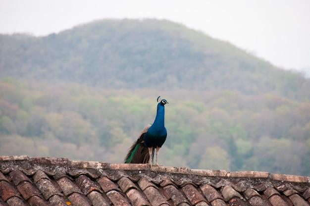 Ein pfau innen auf einer dachspitze