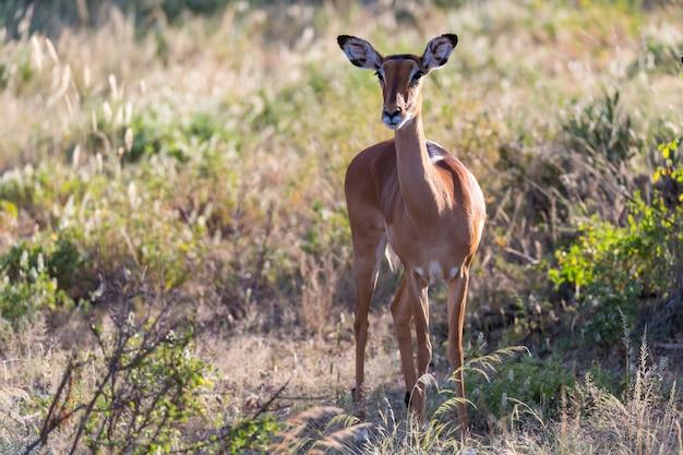 Ein porträt einer impala-antilope in der savanne von kenia
