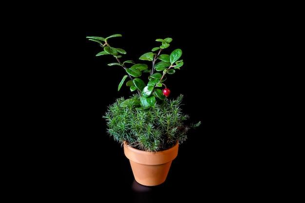 Ein preiselbeerstrauch mit beeren, moos polytrichum commune oder sphagnum wächst in einem kleinen keramikblumentopf auf schwarzem hintergrund