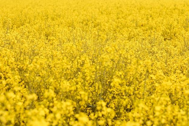 Ein rapsfeld mit leuchtend gelben blüten. konzept der frühlingspostkarte mit kopierraum.