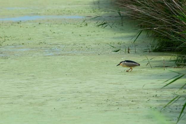 Ein reiher, der in den algen jagt