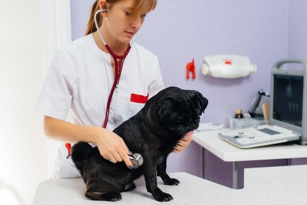 Ein reinrassiger schwarzer hund der dackelrasse wird in einer tierklinik untersucht und behandelt. tiermedizin.