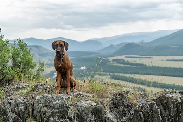 Ein rhodesian ridgeback sitzt im gras auf einem hohen berghang. porträt eines hundes vor dem hintergrund einer berglandschaft