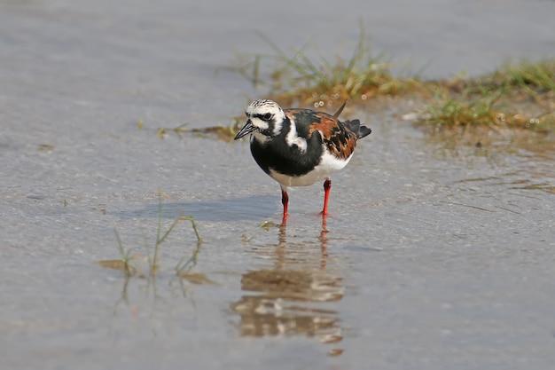 Ein rötlicher steinwälzer (arenaria interpretiert) mit einem dunlin und getrennt von anderen vögeln im mündungswasser.