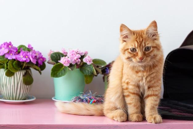 Ein rot gestromtes kätzchen mit großen augen sitzt auf einem weißen hintergrund in der nähe von veilchen.