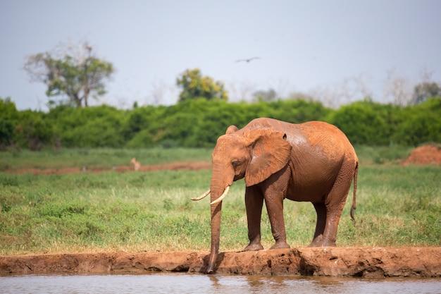 Ein roter elefant trinkt wasser am wasserloch