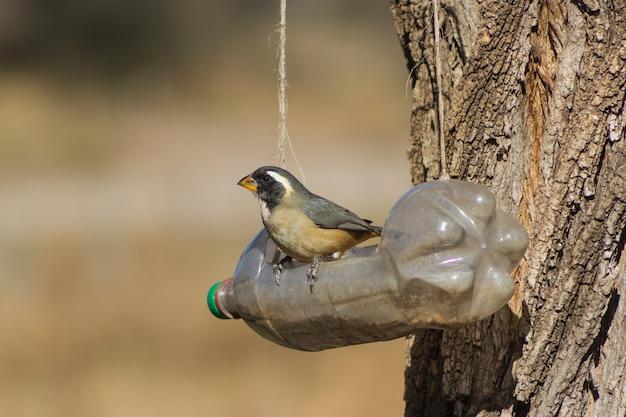 Ein saltator aurantiirostris, der im winter im recycelten flaschenfresser isst