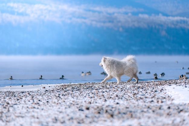 Ein samojede hund am ufer des sibirischen flusses jagt im winter enten. schöne landschaft.