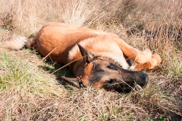 Ein schäferhund, der niederlegt