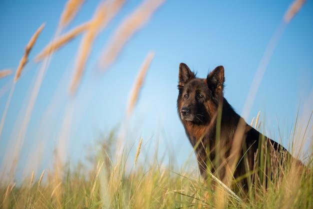 Ein schäferhund dog, der auf grünem gras sitzt