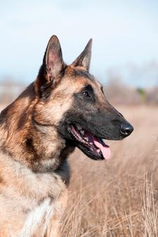 Ein schäferhundsitzen