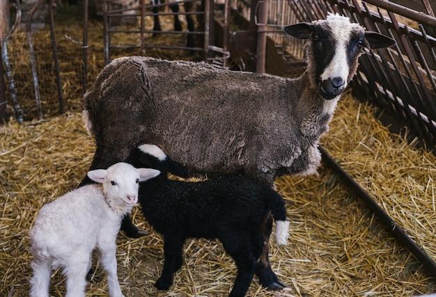 Ein schaf und zwei kleine lämmer nebeneinander in der scheune. weißes und schwarzes lamm. schöne lämmer.