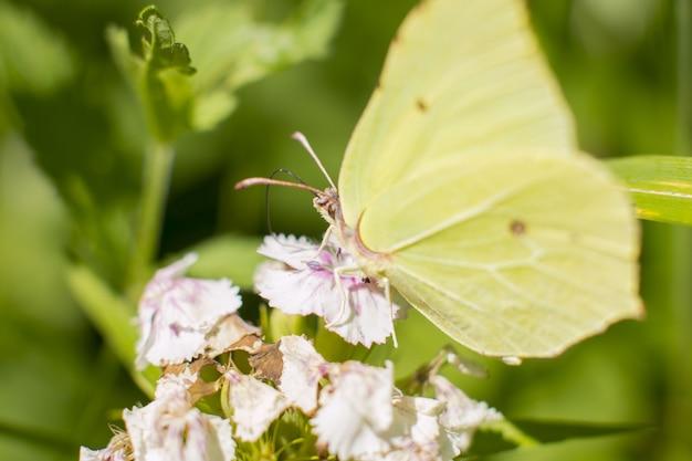 Ein schmetterling aus dem zitronengras sitzt auf einer blume. nektar sammeln