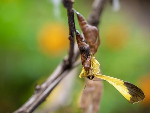 Ein schmetterling kommt aus seinem kokon, monarchfalter, der aus seiner puppe hervorkommt