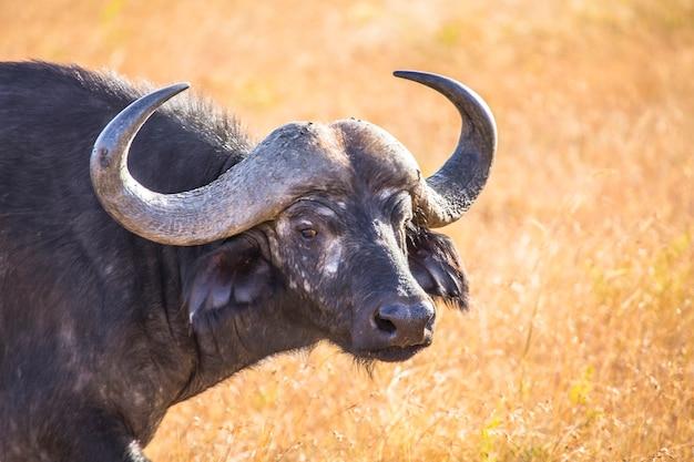 Ein schöner afrikanischer büffel im masai mara nationalpark, wilde tiere in der savanne. kenia