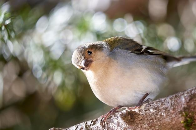 Ein schöner buchfinkvogel in madeira portugal