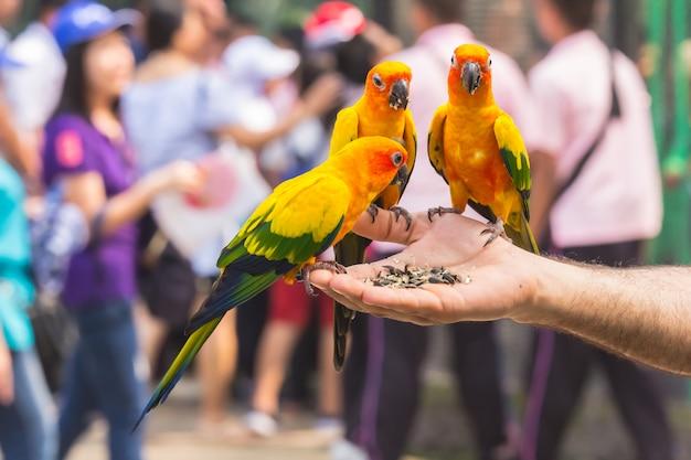 Ein schöner farbiger papagei, der essen in seiner hand isst