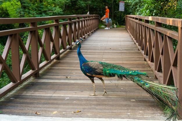 Ein schöner gepflegter pfau geht in einem grünen vogelpark spazieren.
