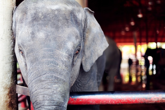 Ein schöner großer elefant mit traurigen augen südlich des zoos.