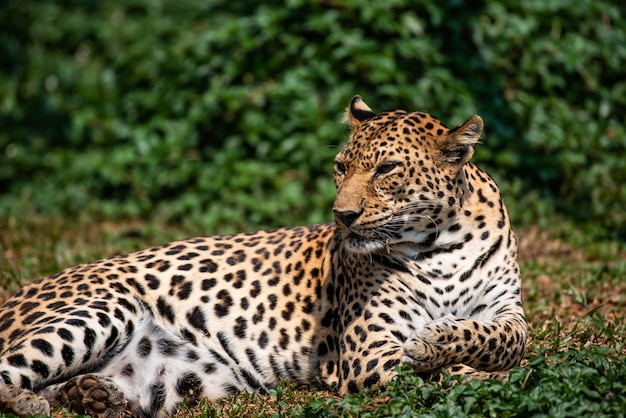 Ein schöner porträtleopard