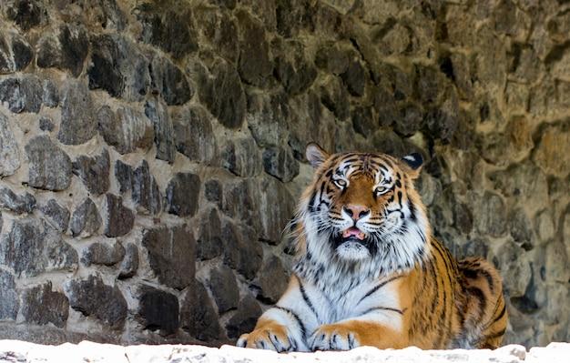 Ein schöner tiger, der die kamera gegen die steinmauer schaut.