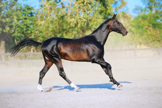 Ein schönes braunes pferd springt auf einem feld gegen einen grünen wald. die übung eines sportpferdes. hengst läuft frei