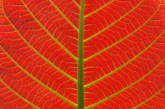 Ein schönes jabon-blatt, anthocephalus macrophyllus