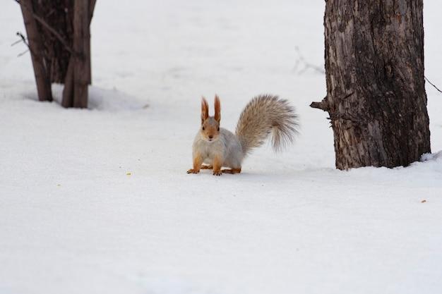 Ein schönes rot-weißes eichhörnchen sitzt im winter im schnee. ein bild mit einem platz für den text.