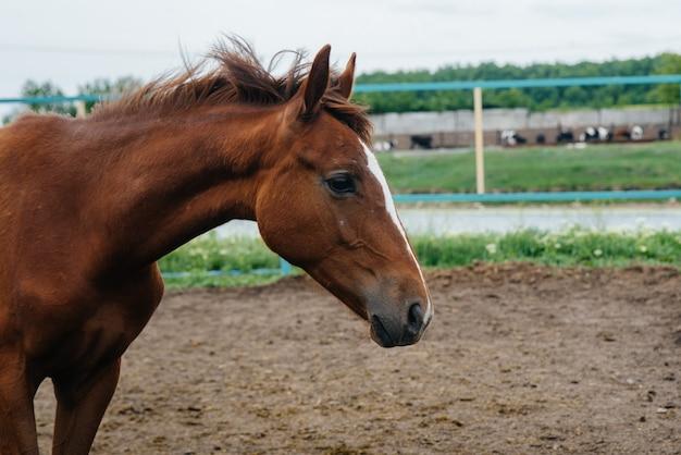 Ein schönes und gesundes pferd auf der ranch spazieren gehen. tierhaltung und pferdezucht.