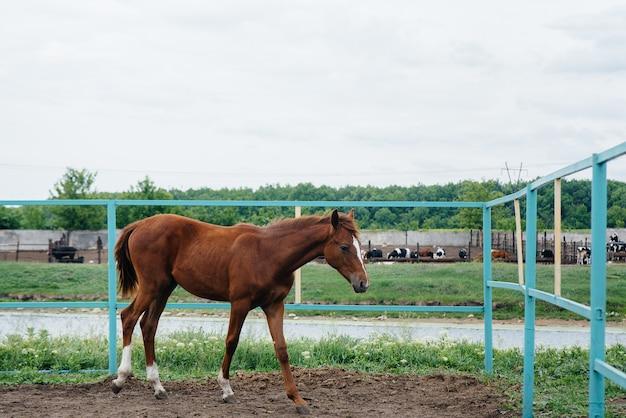 Ein schönes und gesundes pferd auf der ranch spazieren gehen.