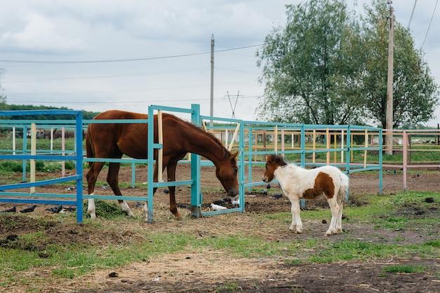 Ein schönes und junges pony schnüffelt und zeigt interesse an den erwachsenen pferden auf der ranch. tierhaltung und pferdezucht.