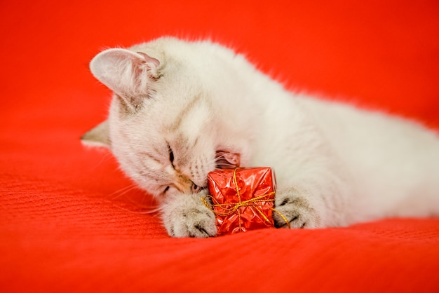 Ein schönes weißes kätzchen britischer rasse liegt auf einer roten decke und hält eine geschenkbox in den pfoten
