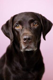 Ein schokoladenfarbener labrador retriever hund schaut vor einem rosa hintergrund in die kamera