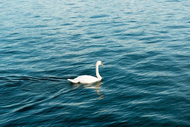 Ein schwan am fluss der schweiz