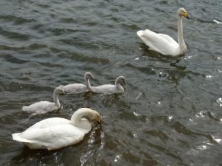Ein schwan familie