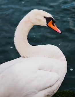 Ein schwan im see