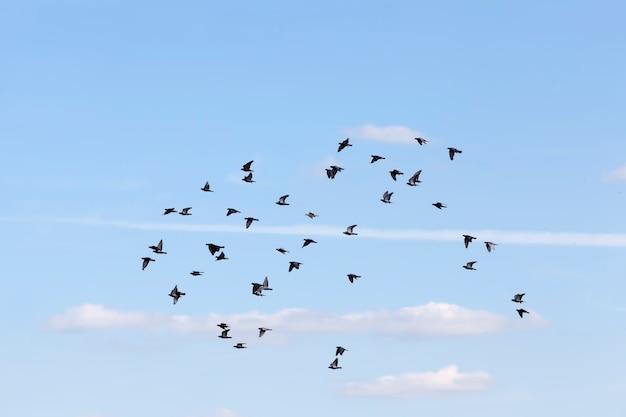 Ein schwarm tauben fliegt in den blauen himmel