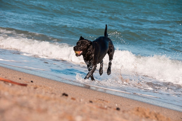 Ein schwarzer apportierhund, der in der brandung spielt
