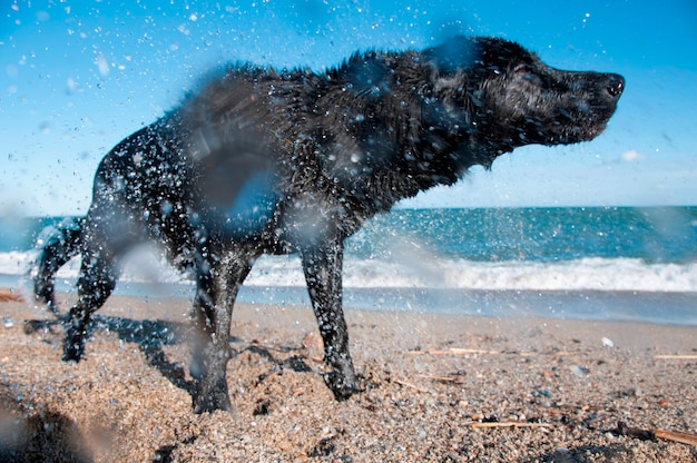 Ein schwarzer apportierhund, der rüttelt, um trocken zu werden