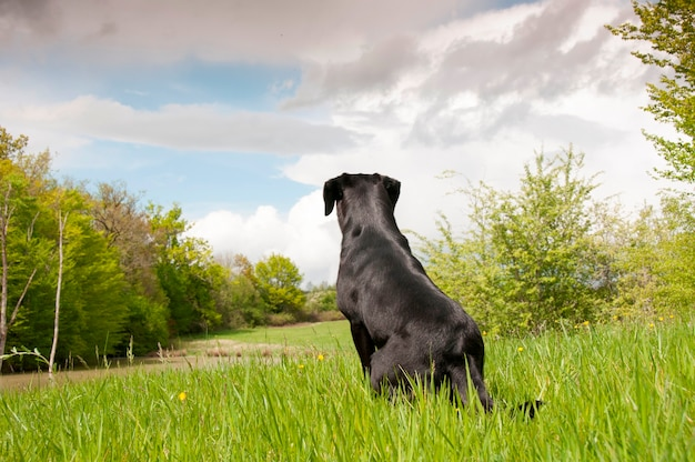 Ein schwarzer apportierhund in einem feld
