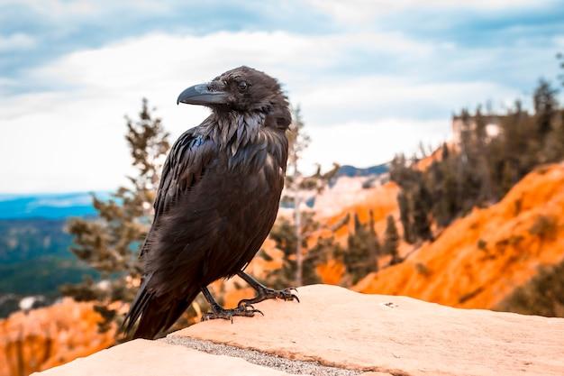 Ein schwarzer geier, der rechts im bryce-nationalpark schaut. utah, vereinigte staaten