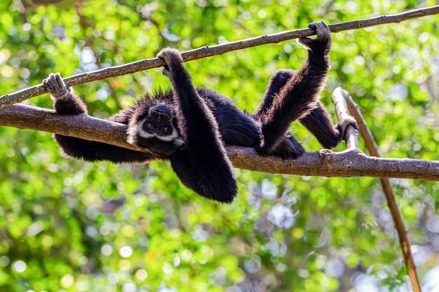 Ein schwarzer gibbon, der auf einem baum ruht
