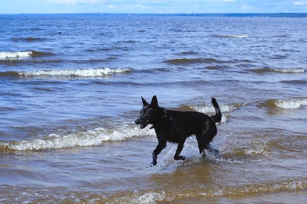 Ein schwarzer hund rennt durch das flache wasser der bucht.