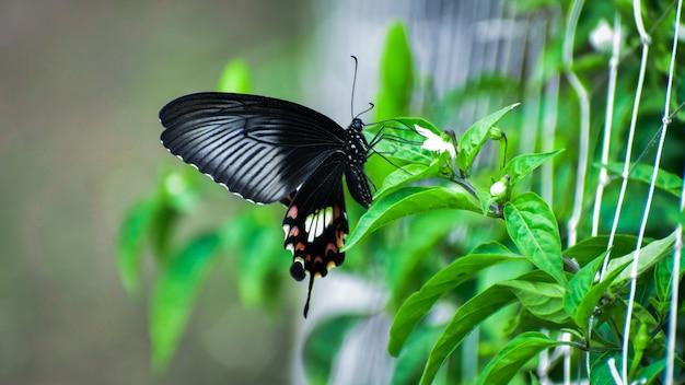 Ein schwarzer schmetterling sitzt auf einer pflanze